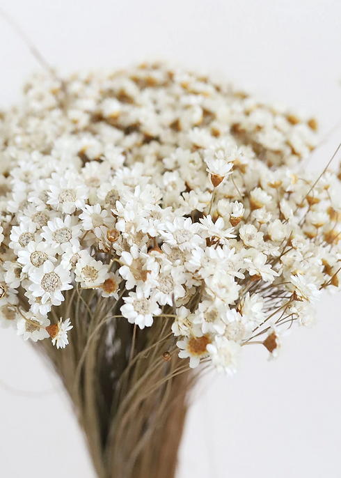 Dried Star Flower.png