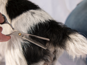 Why you need Single Edge Thinning Scissors for dog grooming.