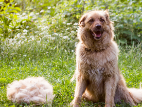 How to control shedding dog hair.