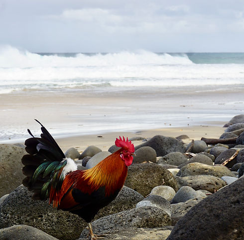 rooster-hawaii.jpeg