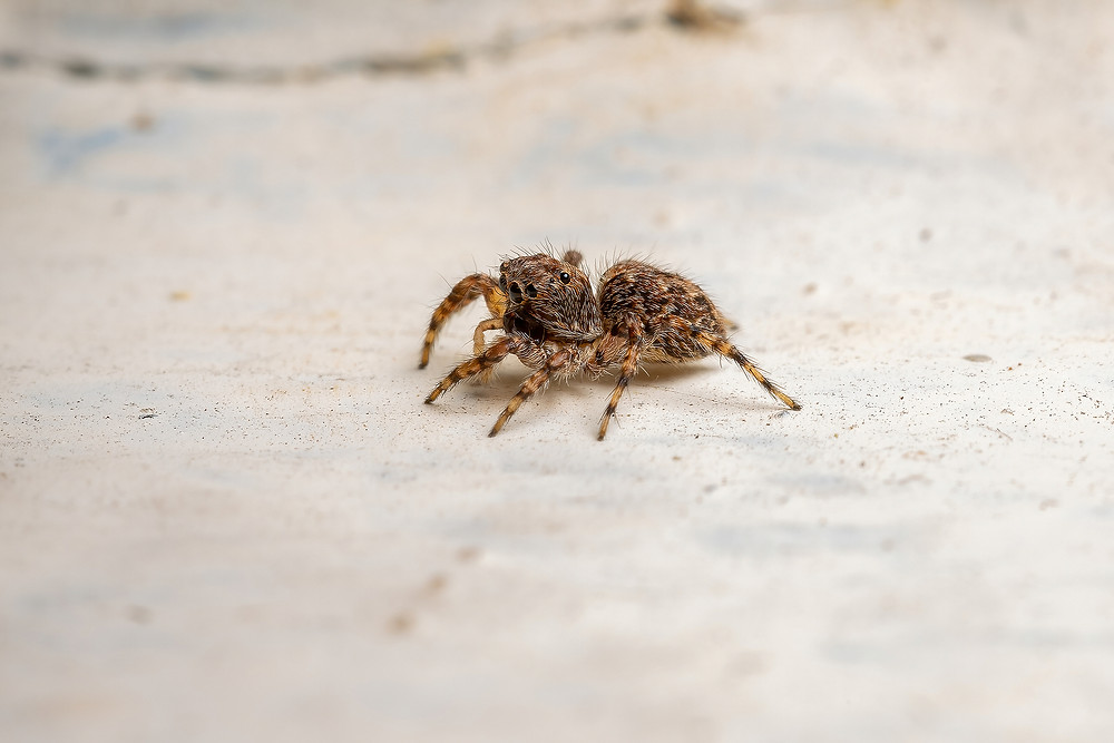 adult jumping spider oklahoma