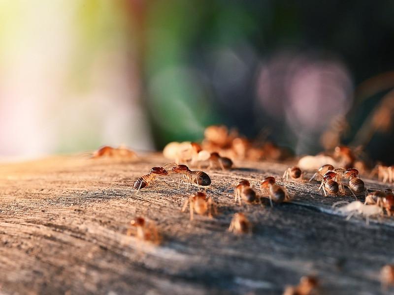 Colony Of Termites in oklahoma