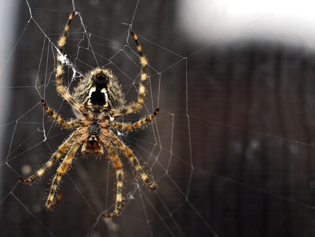 How to Get Rid of Brown Recluse Spiders