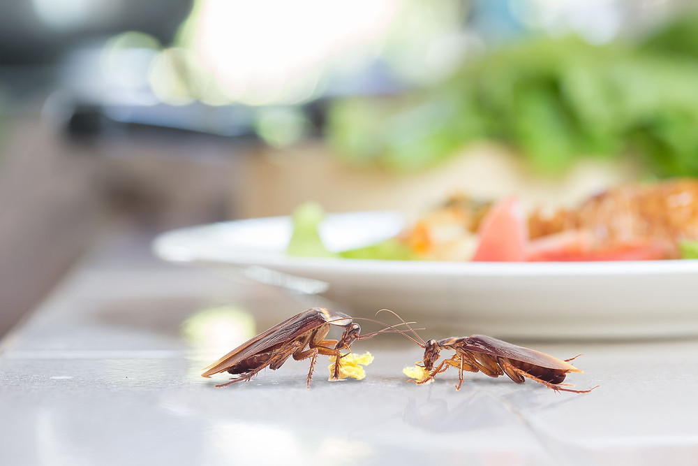 what do cockroaches eat, cockroach eating whole wheat bread on dining table