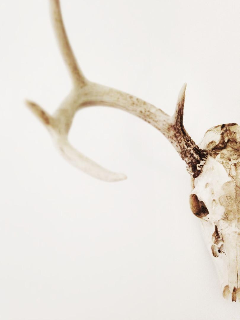antlers-984538_1920.jpg
