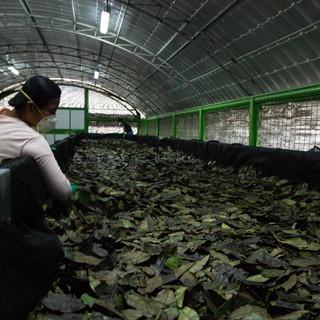 Guayusa processing.