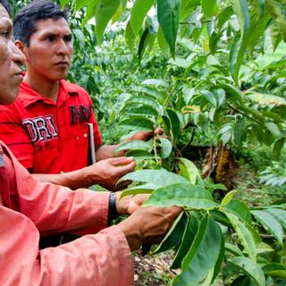 Checking on the guayusa plants.