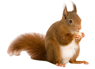 redsquirrel2_edited.png