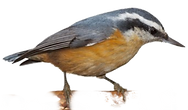 nuthatch_edited_edited.png