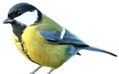 great%2520tit_edited_edited.png