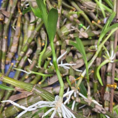 石斛蘭就算無曬花無曬葉連根都無,只要棵植物未完全死,都有機會生新芽出黎