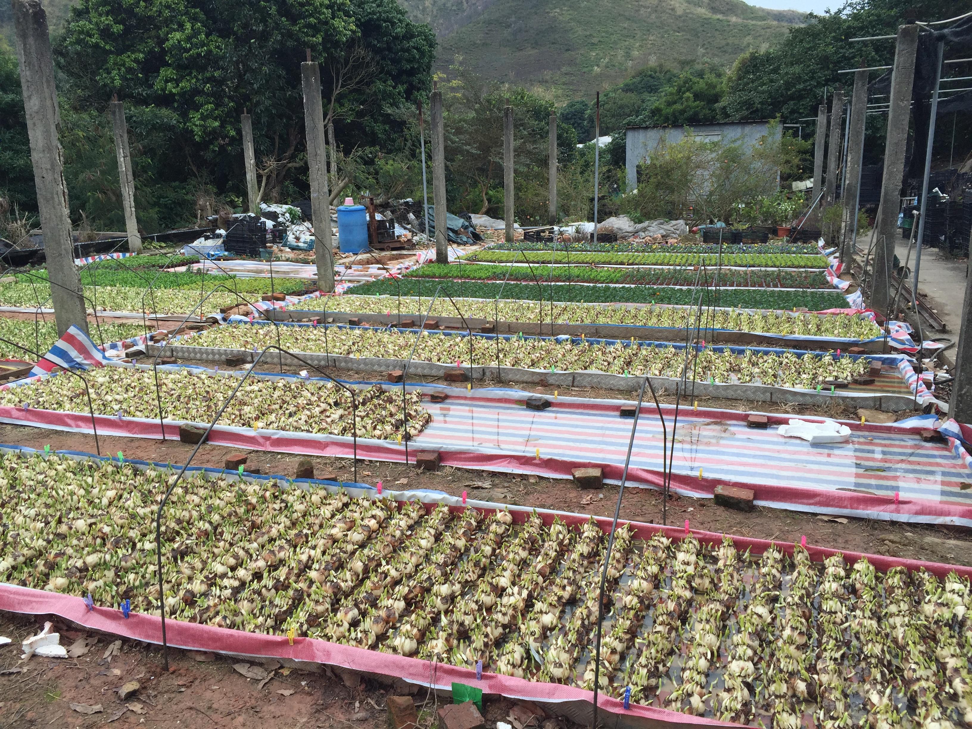 本地種植水仙