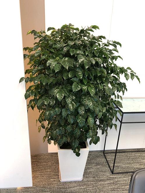 座地綠寶樹