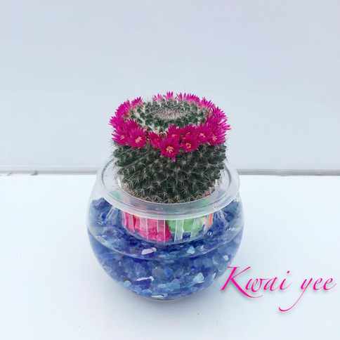 開花仙人球水種