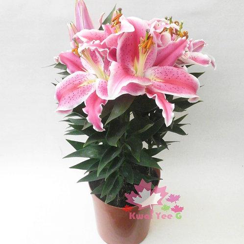 盆栽百合花