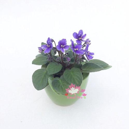 迷你紫羅蘭