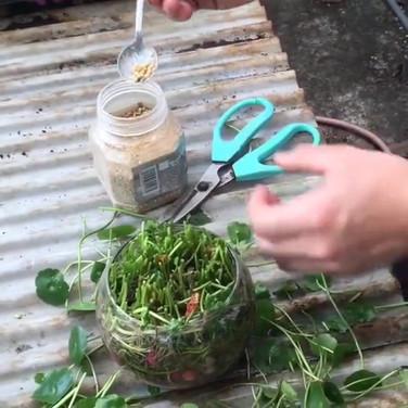 水栽銅錢草收剪