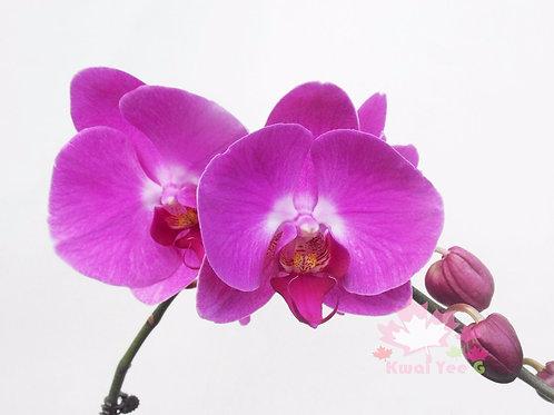 大花蝴蝶蘭