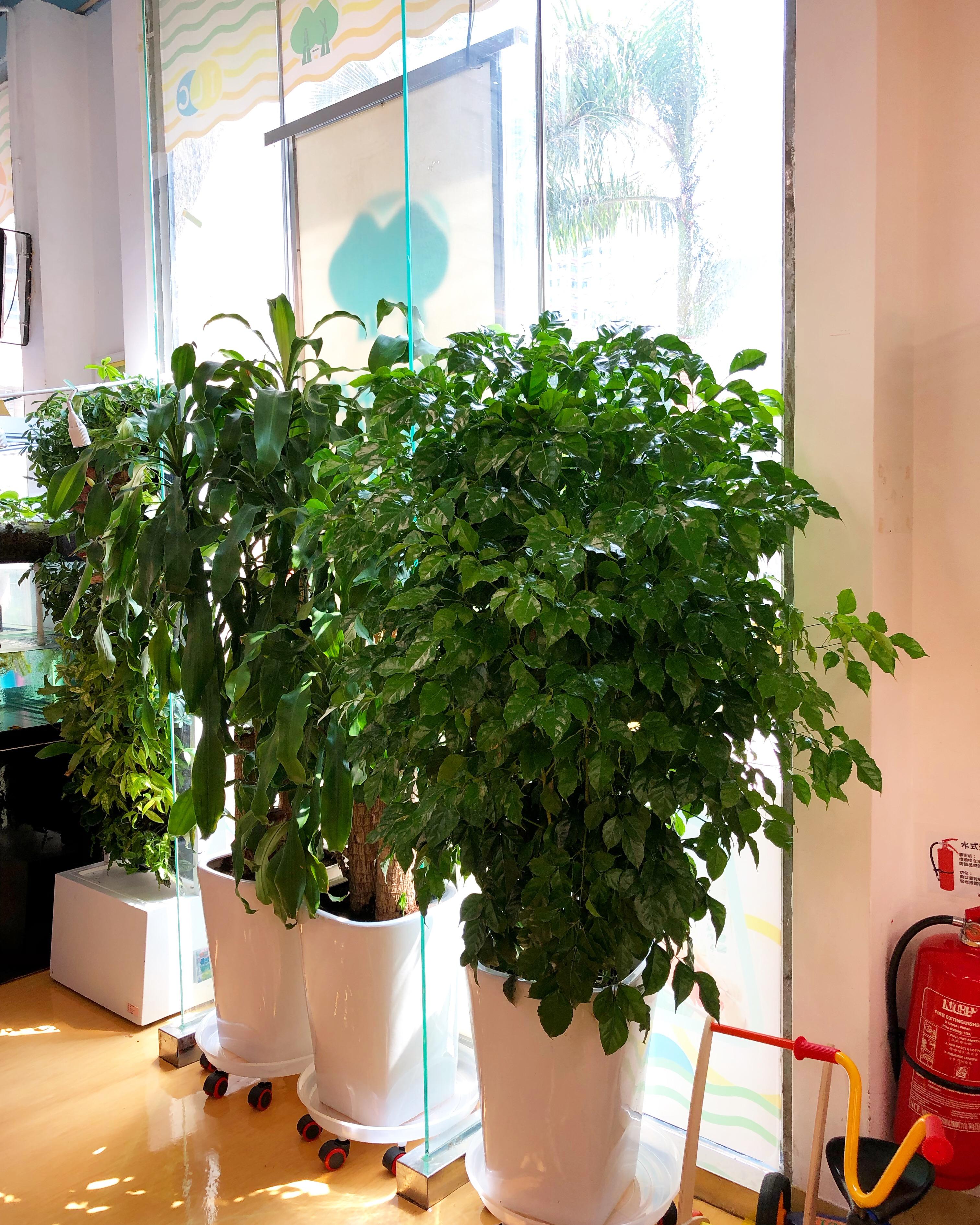 購買大型室內植物