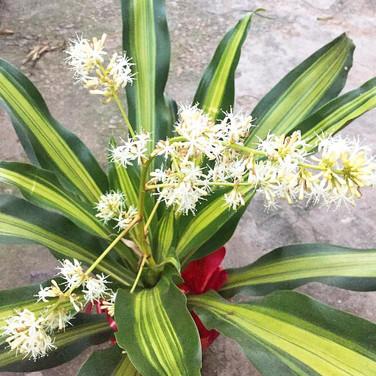 鐵樹通常夜晚開花🌼 開花帶有香味有d似風信子嘅味道