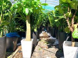 本地花場種植的大型植物