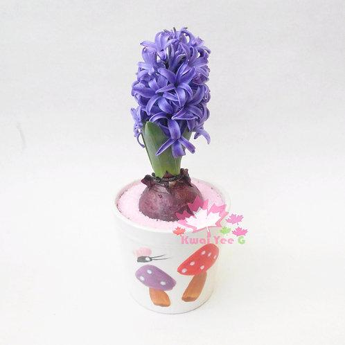 紫色風信子