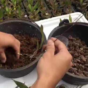 彩蝶文心蘭繁殖方法