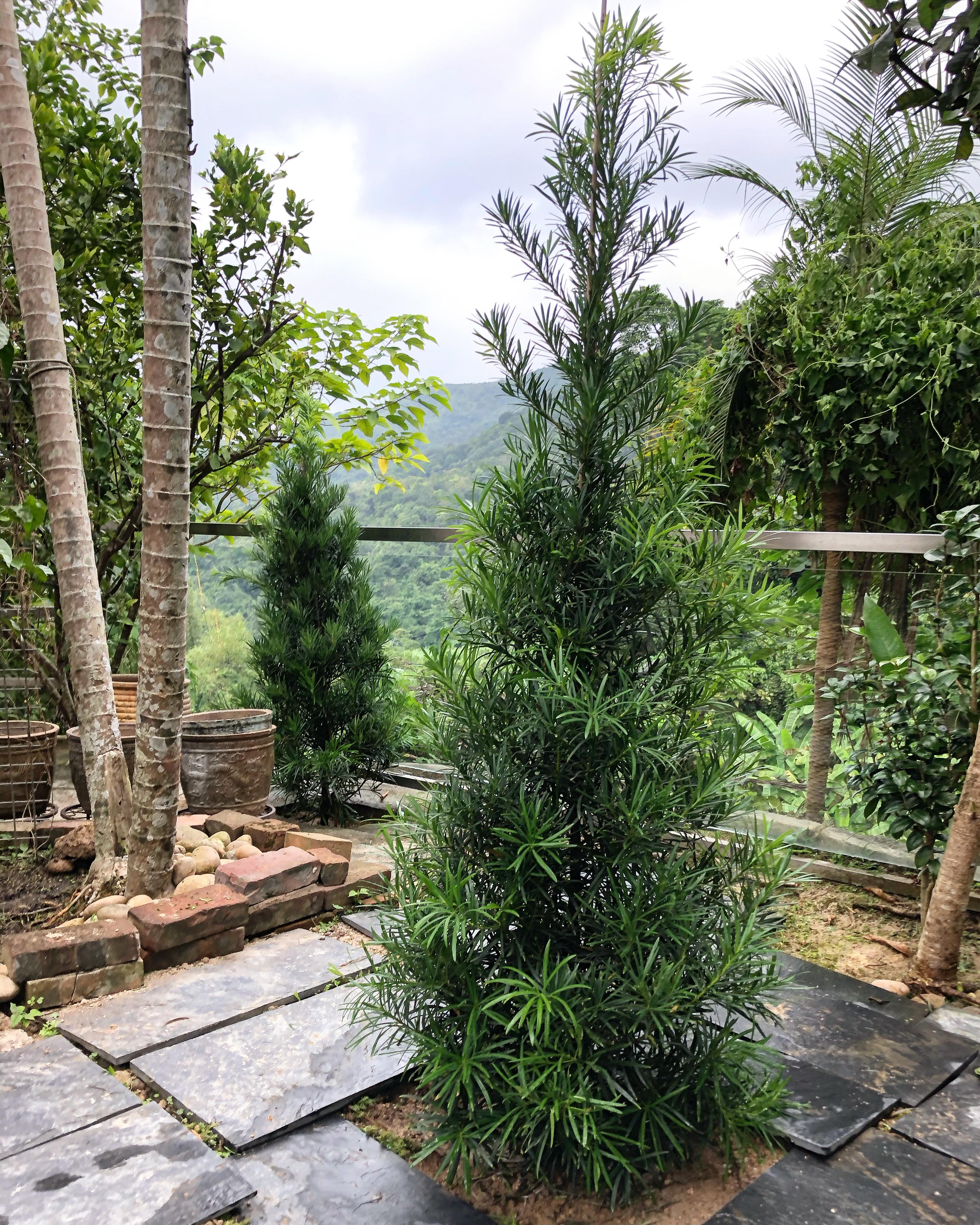 種植羅漢松