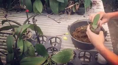 蝴蝶蘭繁殖