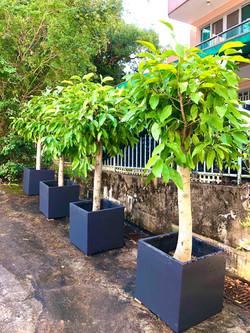 白蘭樹大植物