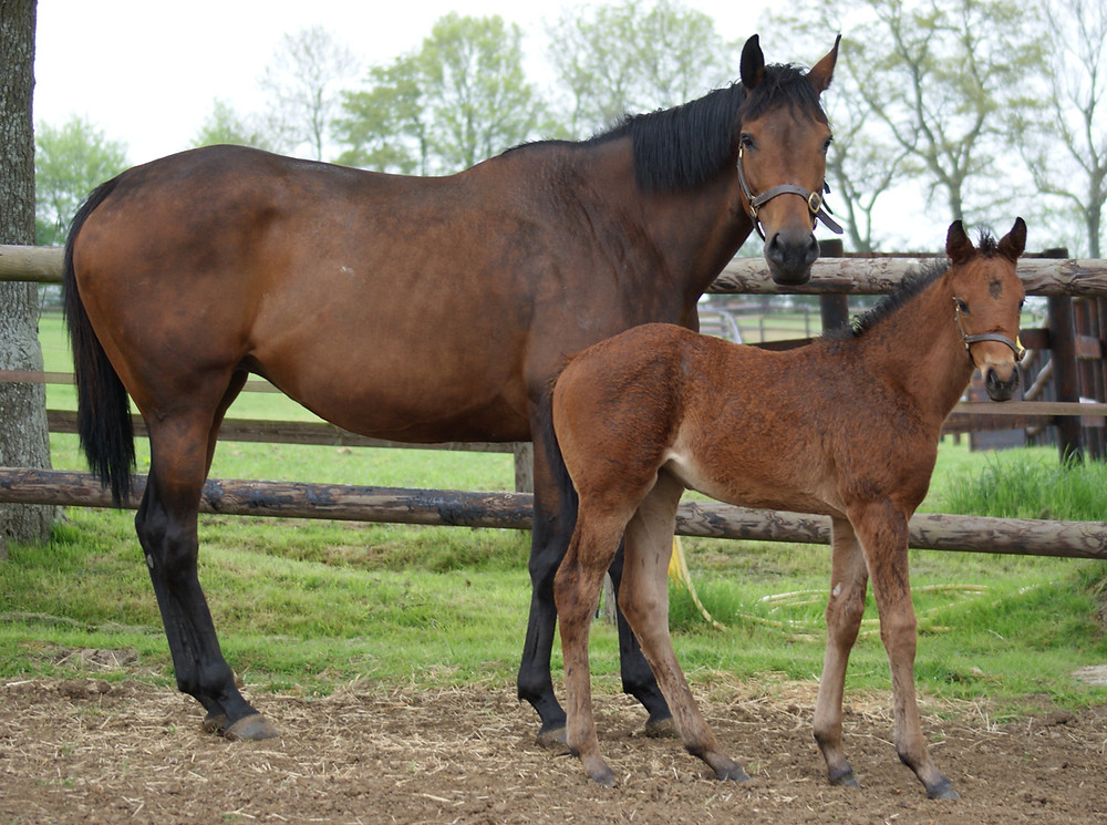 Stellar Rose and her Dabirsim filly at La Motteraye in Normandy