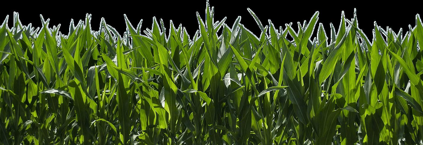 157-1575249_corn-field-corn-farm-blue-sk