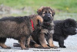 chiots elevage Of Old FASHION, berger allemand ancien type, altdeutscher schaferhunde
