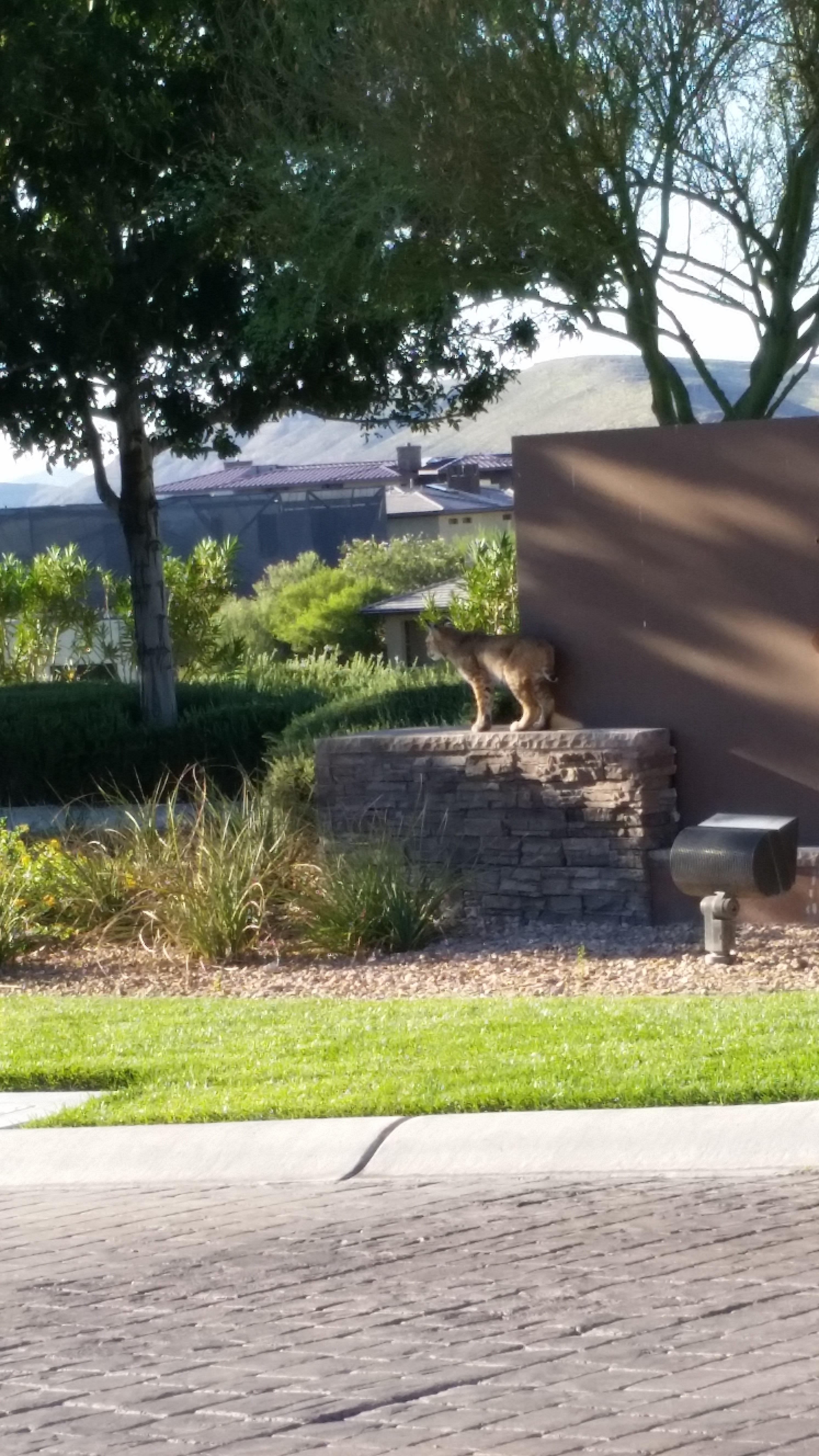 Mountain Cat In Las Vegas - Intrepid Metal Works Inc.