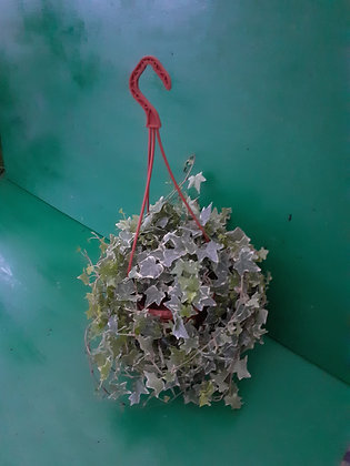 Ivy in hanging basket