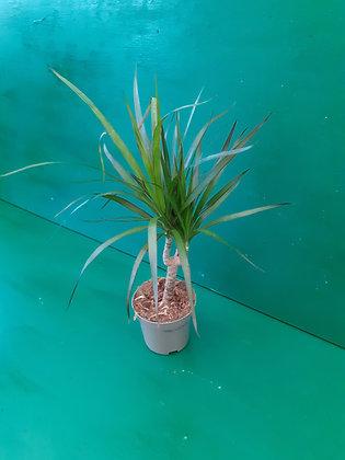 Arborea (Dracaena)