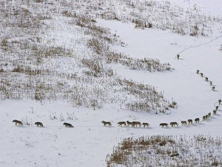 The amazing Wolfpack, here is something you may have never known !