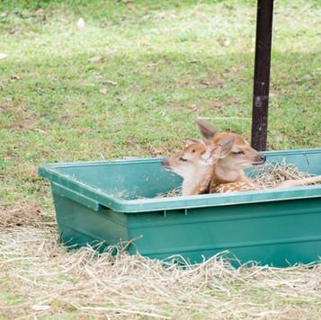 deer-summer (8).jpg