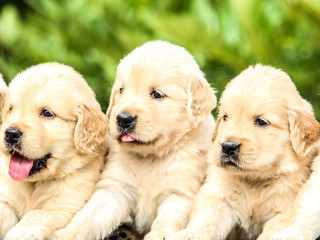 Socialising puppies is important - BUT What is Socialisation?