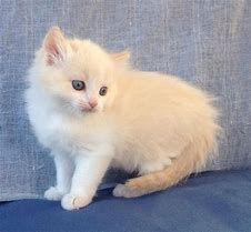 cream rag kitten.jpg