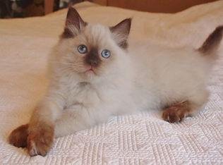 choc ragdoll kitten.jpg