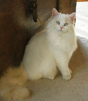 cream cat.jpg