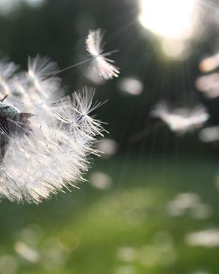 blowball-dandelion-dandelion-seed-54300.