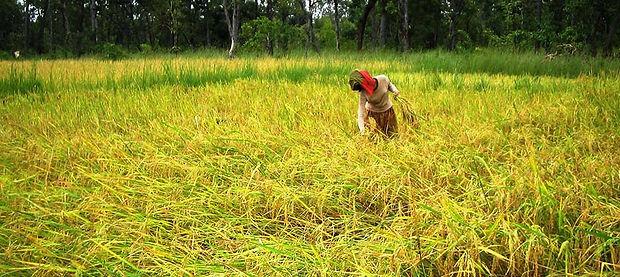 Rice-field.jpg