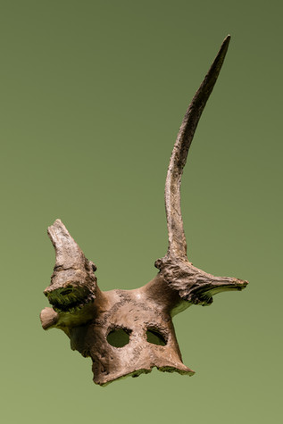 1953.61 A, red-deer frontlet, Mesolithic, Star Carr