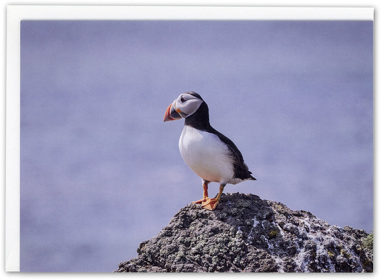 Puffin on a Rock, Isle of May, Scotland