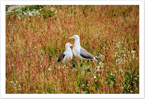 Two Gulls, Isle of May