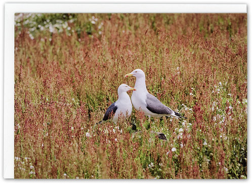 Two Gulls, Isle of May, Scotland
