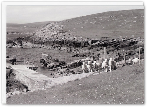 Sheep by Jetty, Mousa, Shetland