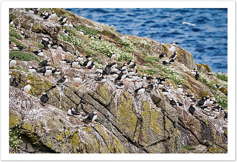 Puffins, Isle of May